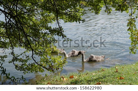 Swans and cygnets in the lake - stock photo