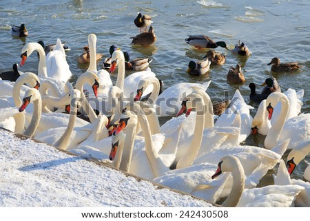 Swans and ducks are waiting for feeding - stock photo