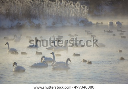 Swans and ducks in mist on altai lake Svetloe at early morning