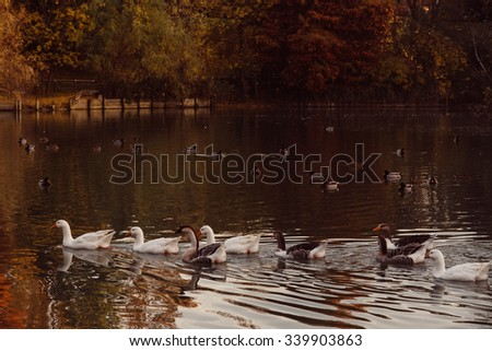 Swans and gooses