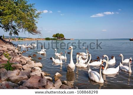 Swans are eating at Lake Balaton, Hungary - stock photo