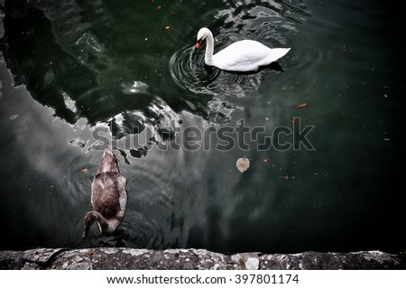 Swans at the lake, black and white