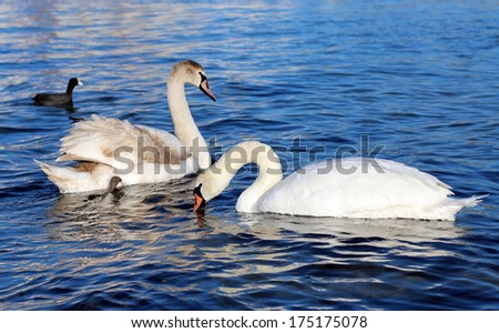 Swans at the seaside