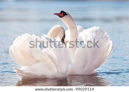 swans dancing on water - stock photo