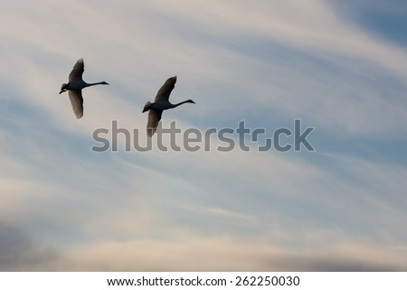 Swans flying at sunset. Altai Russia