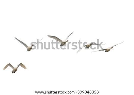 Swans flying isolated flock of birds flying in the sky,swans isolated on white