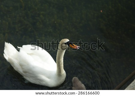Swans in a pond float in search of food and pose for photographers - stock photo