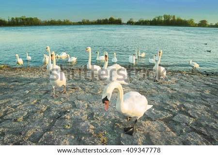 Swans in anticipation of feeding on the shore of the Rhine river. Toned image - stock photo