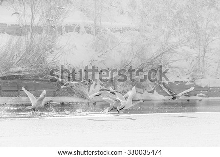 Swans in flight over frozen water. Black and white winter landscape with swans flying over cold water and snow behind. - stock photo