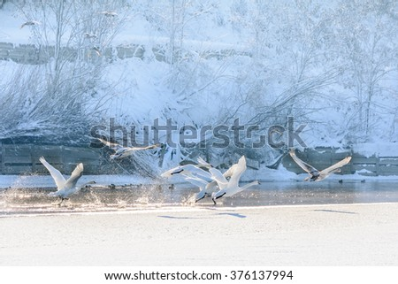 Swans in flight over frozen water. Winter landscape with swans flying over cold water and snow behind. - stock photo