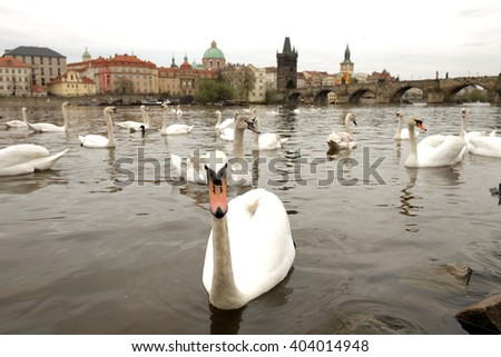 Swans in front of Charles Bridge in Prague, Czech Republic - stock photo