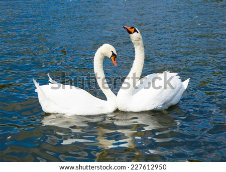 Swans in Hyde park lake - stock photo