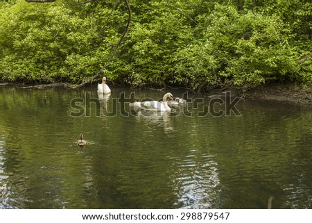 Swans in small river close to Horn pond, America