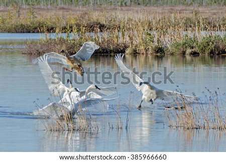 Swans landing on a marsh