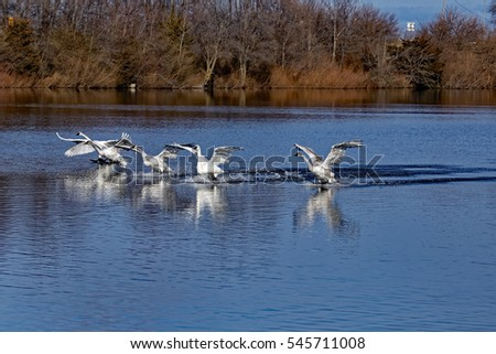 Swans Landing On Water.