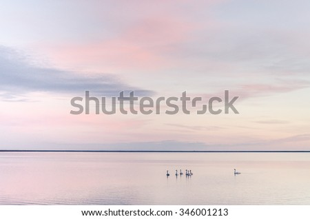 swans on beautiful lake in sunset