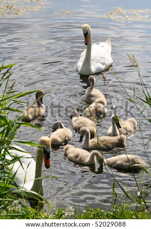Swans on the lake with young