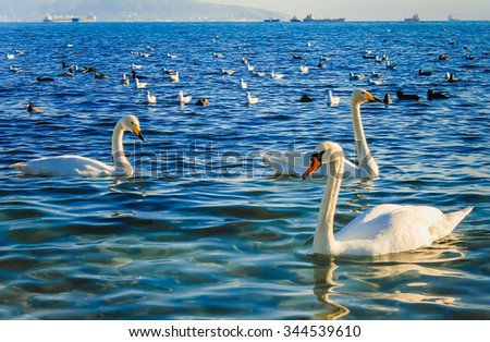 Swans on the sea.  - stock photo