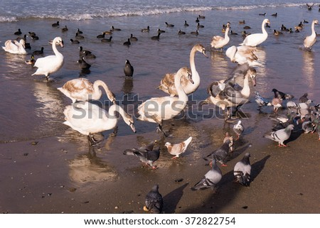 Swans on the sea. Swans with ducks - stock photo