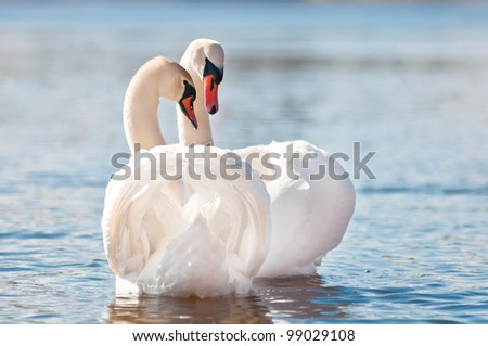 swans on water - stock photo