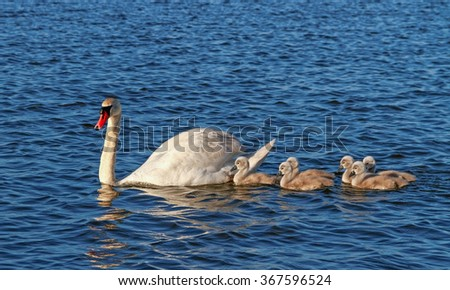Swans on water surface of lake.