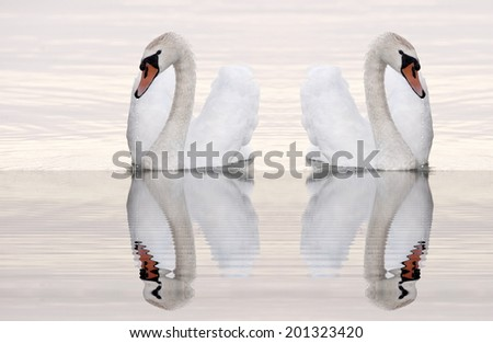 Swans reflections on Balaton lake - stock photo