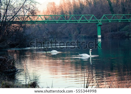 Swans swimming in a river in Italy during Winter.