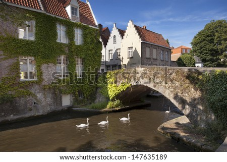 Swans swimming in the channel in Bruges, Belgium
