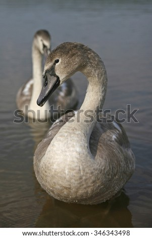 """Swans. """"Ugly"""" ducklings - stock photo"""