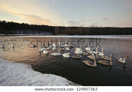 swans winter on ice lakes