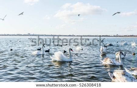 Swans wintering in the Crimea