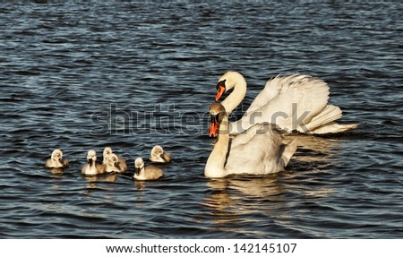 Swans with cygnets on Baltic sea water.