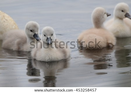 Swans with their young ones