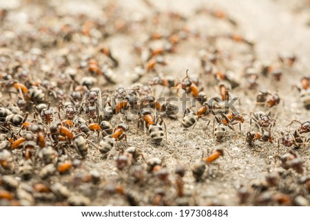 Swarm Ants Looking For Food - stock photo