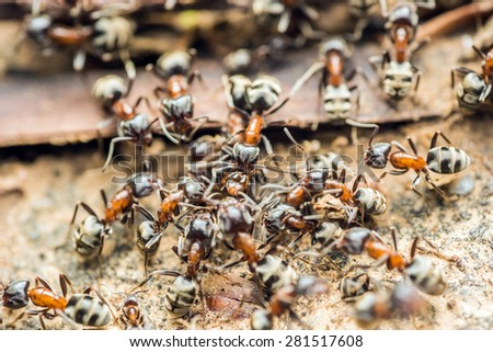 Swarm Colony Of Ants Searching For Food - stock photo