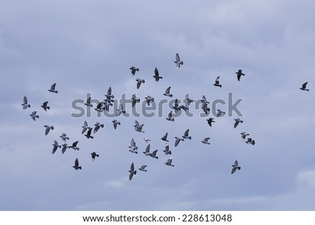 Swarm flying rock pigeons. - stock photo