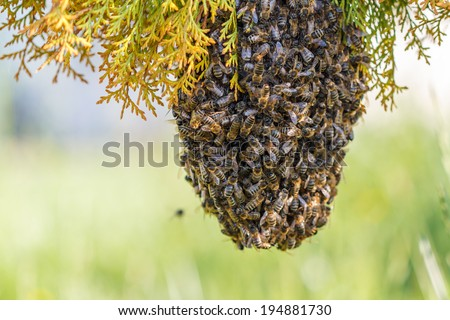 swarm of bees on a tree branch - stock photo