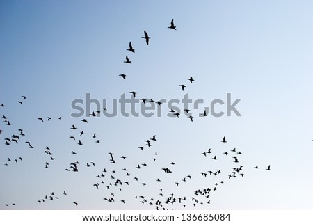 Swarm of Birds - stock photo