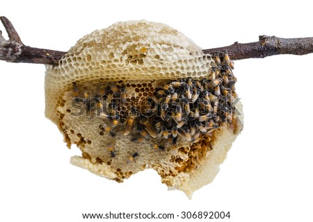 swarm of many bees on a tree branch help build honeycomb on white background - stock photo