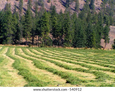 Swaths of Alfalfa Hay - stock photo