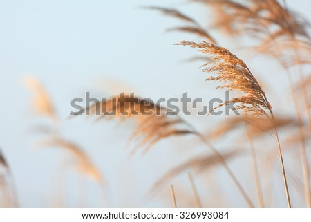Swaying reeds in front of water - stock photo