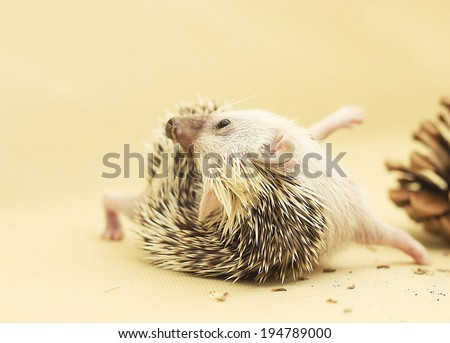 sweet and cute hedgehog quills brushing - stock photo