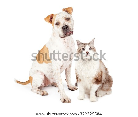 Sweet and friendly Pit Bull dog sitting down next to a pretty long hair cat