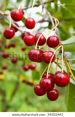 Sweet and juicily fresh cherries on a tree - stock photo
