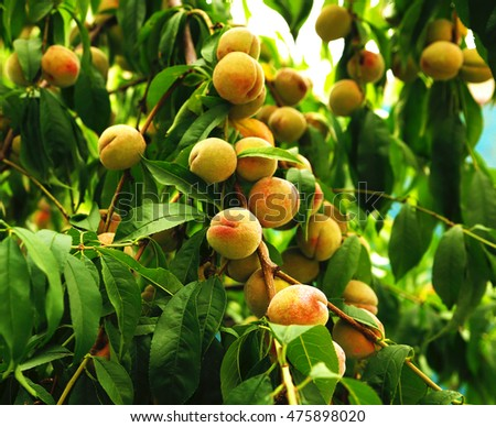 sweet and juicy peaches growing on the tree photo to micro-stock