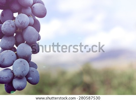 Sweet and tasty blue grape bunch on the vine - stock photo