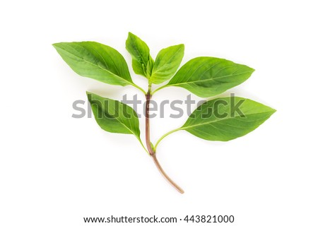 Sweet basil leaves isolated on a white background - stock photo