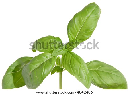 sweet basil tops of the shoot, isolated