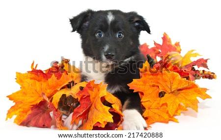 Sweet black and white Australian Shepherd puppy with fall decor around him, on a white background. - stock photo