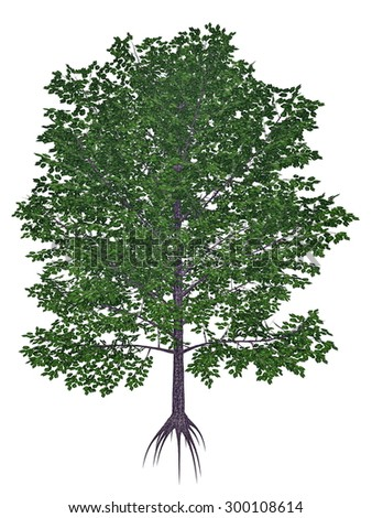 Sweet, black, mahogany, spice or cherry birch, betula lenta tree isolated in white background - 3D render - stock photo